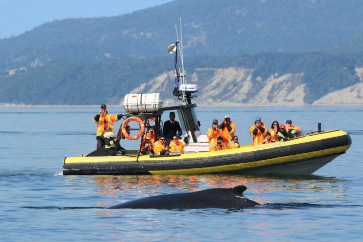 Croisière aux baleines en zodiac à Québec
